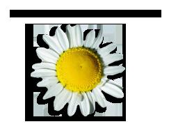 Chammomile